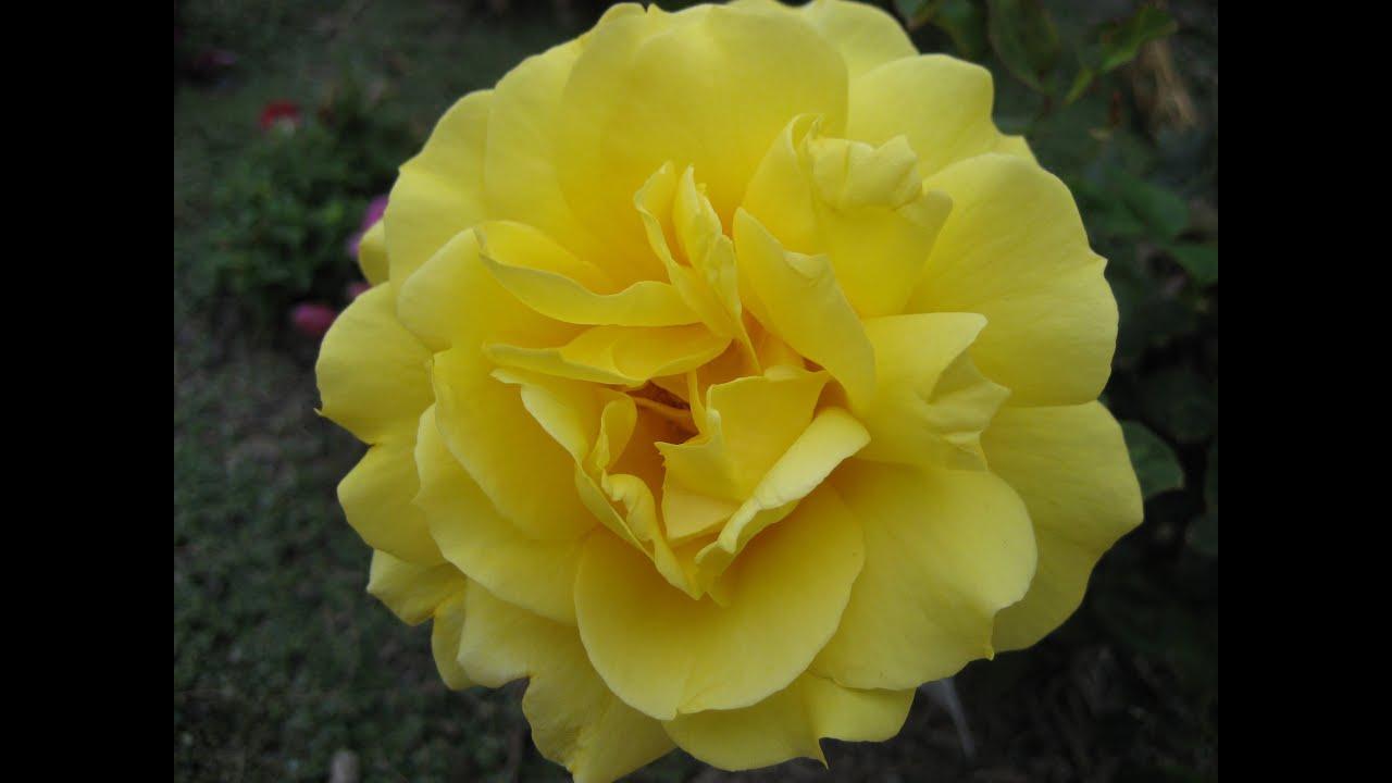 Цветы аллаха