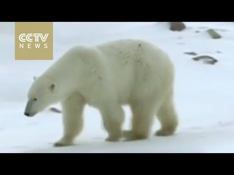 Polar bear population vanishing from Hudson Bay