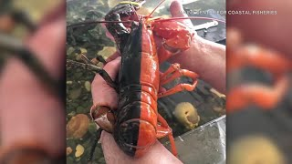 Rare two-toned lobster caught off coast of Maine | ABC7