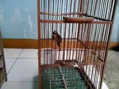 Burung cingcoang super gacor