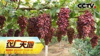 《农广天地》 20180525 美人指葡萄种植技术 | CCTV农业
