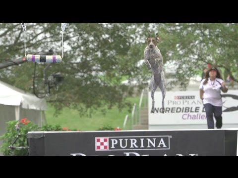 Full Fetch It Competition - 2016 Purina® Pro Plan® Incredible Dog Challenge® National Finals