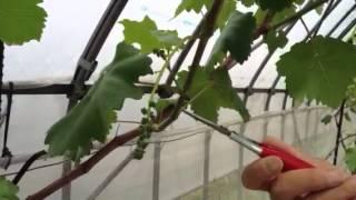ちょこちょこ果樹栽培2 花穂整形