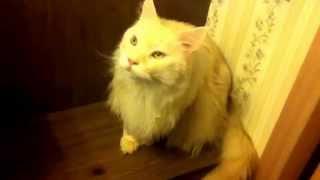 Кот Мэйнкун 9 кг Супер Кот
