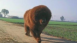Tibetan mastiff for sale | slow mo | +919417730301 | hkktm