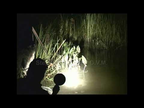 TV Episode - Alligator Hunting with Deibler Outdoors