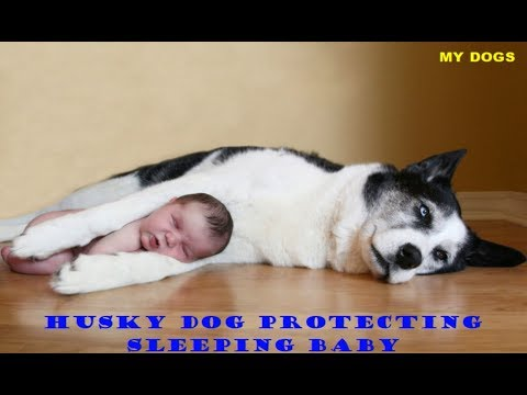 Husky Dog Protecting Sleeping Baby#The Best In The World