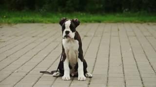 Almadinaks Festival щенок боксер