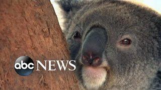 Australian wildfires pose serious threat to koala population l ABC News