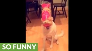 Dog humorously balances household objects on his head