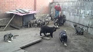 Продажа щенков кавказской овчарки, питомник.