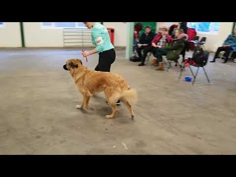 Manchester Championship Dog Show 2019 AVNSC Estrela Mountain Dog Post Graduate Bitch Class