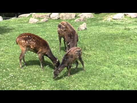 Philippine Spotted Deer, Newquay Zoo (27th June 2015)