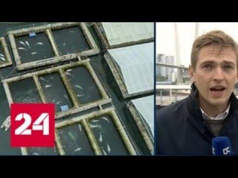 """Две косатки, выпущенные из """"китовой тюрьмы"""", направляются в сторону Шантарских островов - Россия 24"""