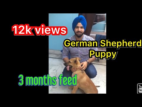German Shepherd dog 3 months old | very active breed |