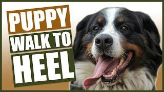 BERNESE MOUNTAIN DOG TRAINING! How To Train Your Bernese Mountain Dog To Walk to Heel!