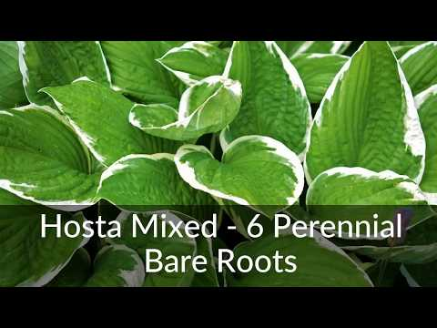 Hosta Mixed 6 Perennial Bare Roots Youtube