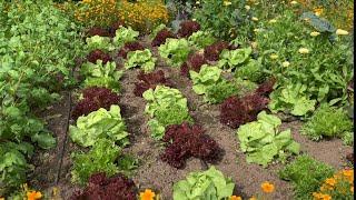 Mini Harvest At Tнe Plot | A Garden Visit & My First Aubergine!