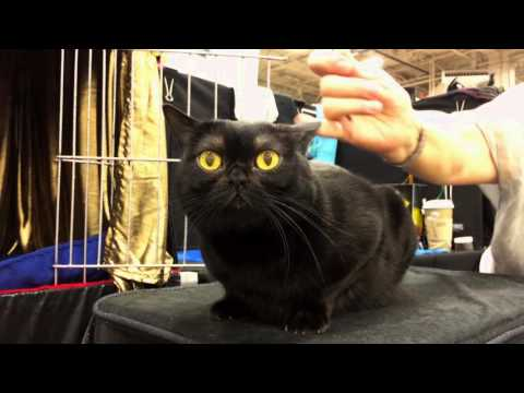 The Bombay: Cat or Miniature Panther?