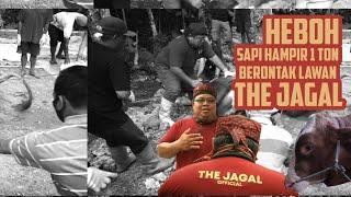 HEBOH! SAPI HAMPIR 1 TON BERONTAK LAWAN THE JAGAL