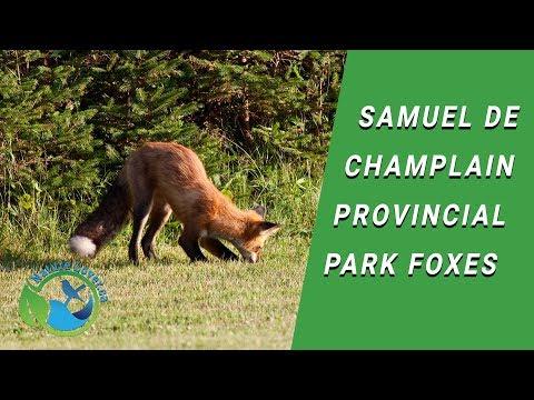 Samuel de Champlain Foxes
