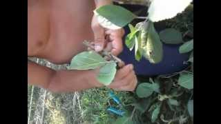 Repeat youtube video Trei metode de altoire demonstrate pe un mar - Three methods demonstrated grafting an apple