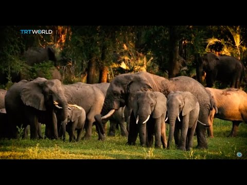 Wildlife Extinction: Number of elephants in Africa drops drastically