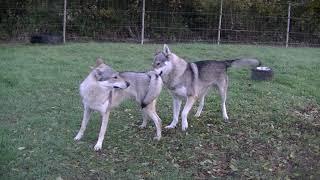 2019 Portée Akshaya & Izaak  : parade amoureuse  Elevage des Loups d