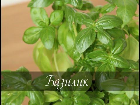 Как выращивать базилик в домашних условиях
