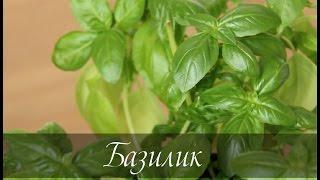 видео Базилик на балконе выращивание