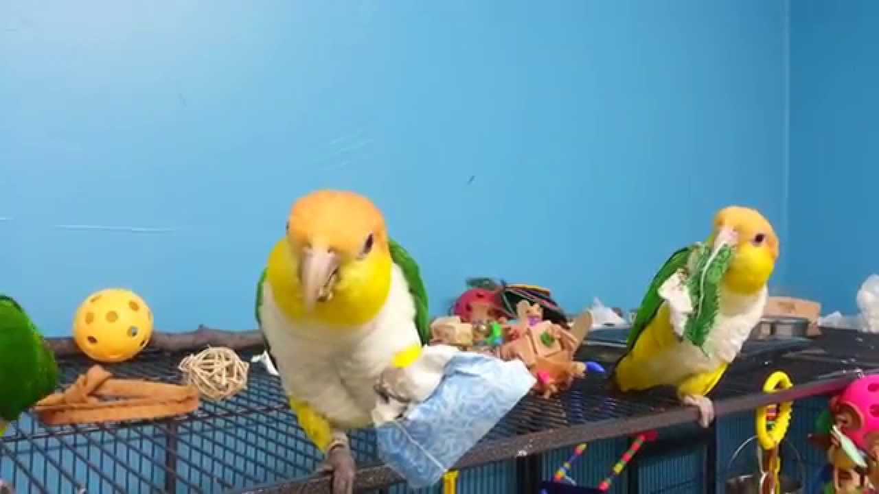 Discount Bird Toys : Dixie cups are cheap foraging toys for pet birds caique