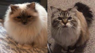 CUTE BIRMAN CAT MOMENTS