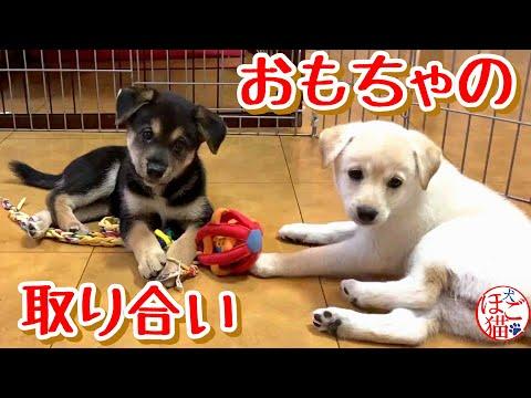 【子犬 子猫 保護犬】おもちゃの取り合い レフリーは子猫!