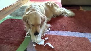 Dog Eating My Homework (ripping Apart Paper) - English Cream Golden Retriever, 2 Years Old