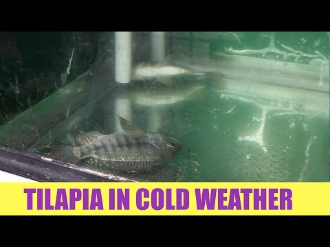 Tilapia And Cold Water | Ask The Aquaponics God Ep15