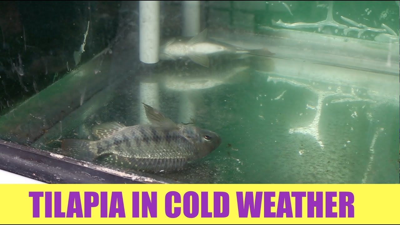 Tilapia And Cold Water