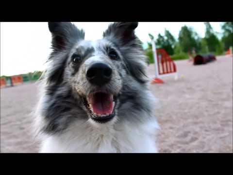 Shetland sheepdog Aiko - third year