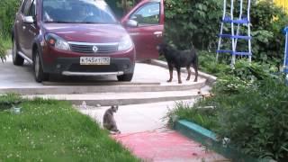 Кошка защищает котенка от ротвейлера.Воспитание и дрессировка собаки.Ротвейлер день за днем
