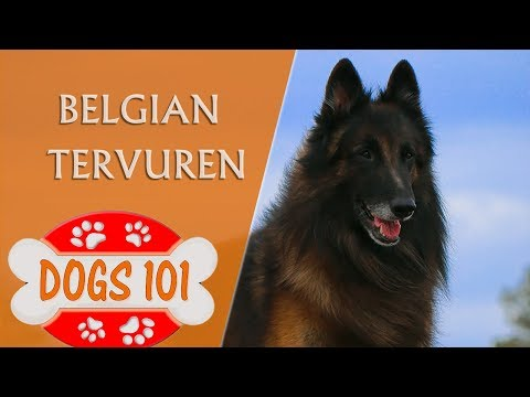 Dogs 101 - BELGIAN TERVUREN - Top Dog Facts About the BELGIAN TERVUREN
