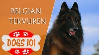 Dogs 101  BELGIAN TERVUREN  Top Dog Facts About the BELGIAN TERVUREN