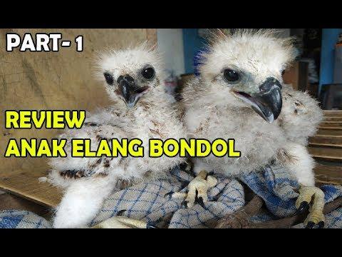 Riview Anak Elang Bondol Cara Merawat Elang Bondol Haliastur Indus Part 1 Youtube