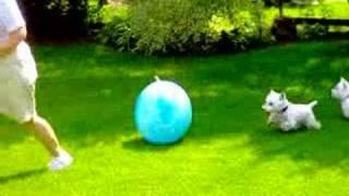 Westie Big Ball