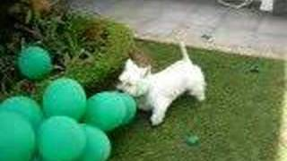 West Highland White Terrier - Scott The Dog - Westies