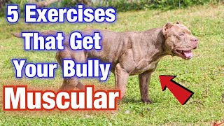 5 American Bully Exercise MUSCLE training tips that will get your dog SWOLE!!