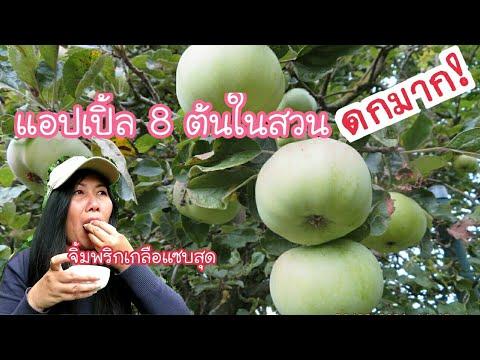 พาชมแอปเปิ้ล 8ต้นในสวน ดกมาก เก็บมาจิ้มพริกเกลือแซบมาก