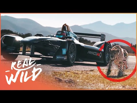 Drag Race: Formula E Car VS Cheetah [Technology Vs Wildlife Documentary] | Wild Things