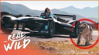 Drag Race: Formula E Car VS Cheetah [Technology Vs Wildlife Documentary] | Wild Things