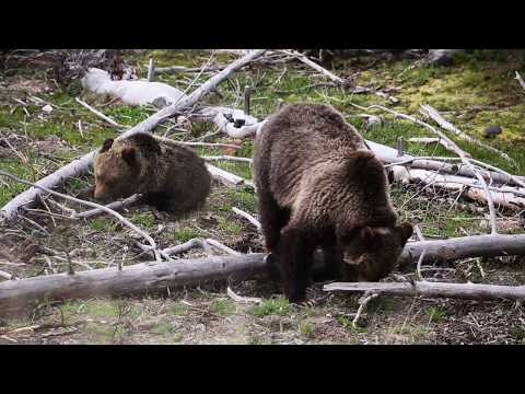 Wildlife Photography Vlog #1: Yellowstone Bear Cubs and More