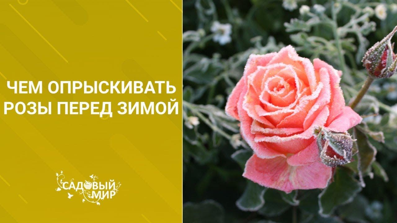 чем обработать розы перед укрытием на зиму