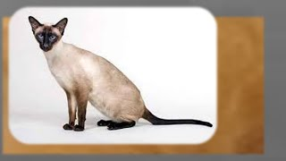 Сиамские  ориентальные   кошки
